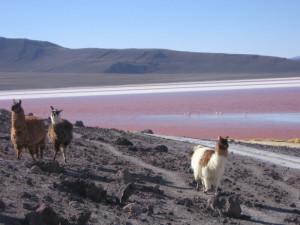 salzwüste-salar-de-uyuni-bolivien-laguna-colorada-lamas